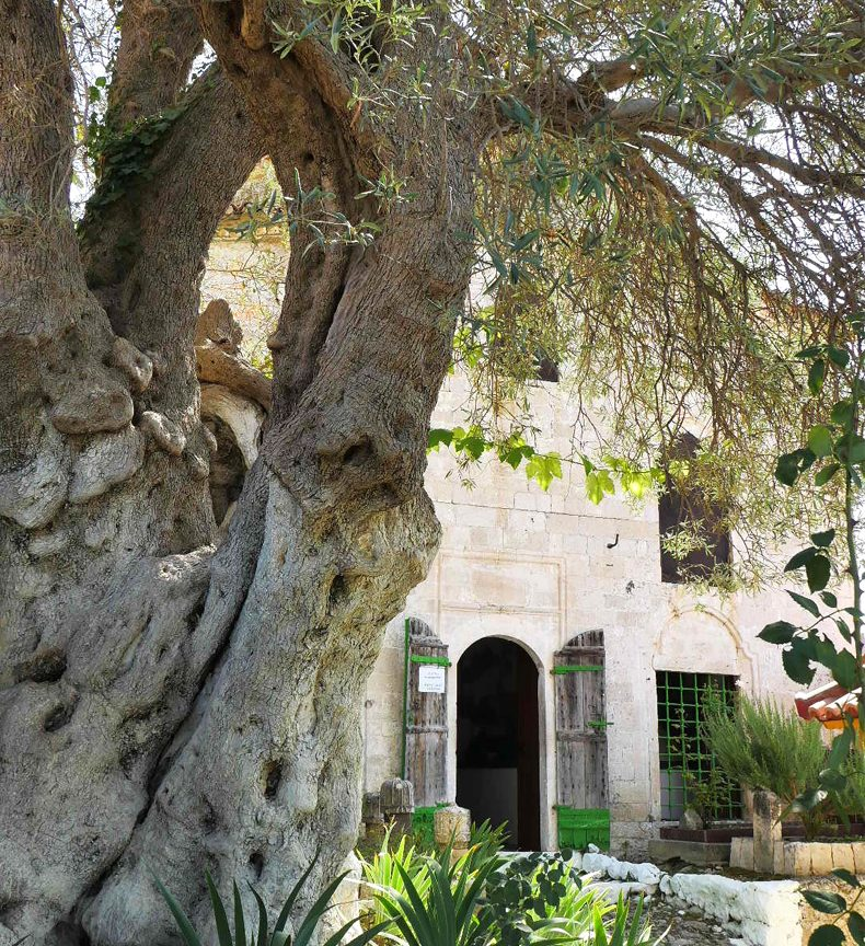Skanderbeg olive tree and Dollma Tekke, Kruja Castle, photo by IntoAlbania